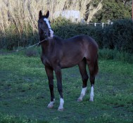 BE GREAT 2012 femmina (E. Berlin x Grand Cru x Accord II)