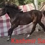 inkedkashmir-saphire-3_li